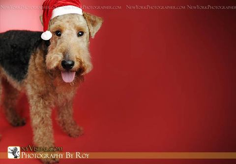 Holiday Pet Portraits, Pet Photographer comes to your New York,NJ, Westchester or  Long Island Home
